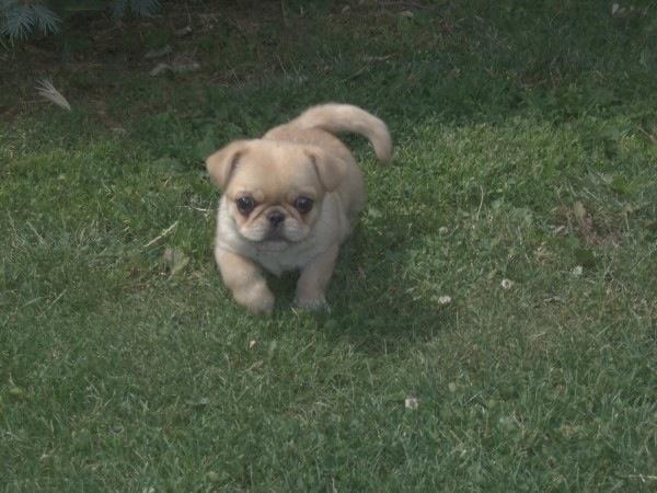 Chihuahua pug mix | ~*Pets*~ | Pinterest