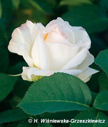 Róża wielkokwiatowa 'Mount Shasta' Rosa 'Mount Shasta'  Kwiaty w pełnym rozkwicie są czysto białe, duże - 12-13 cm średnicy, pięknie cyli...