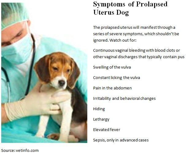 Canine prolapsed uterus