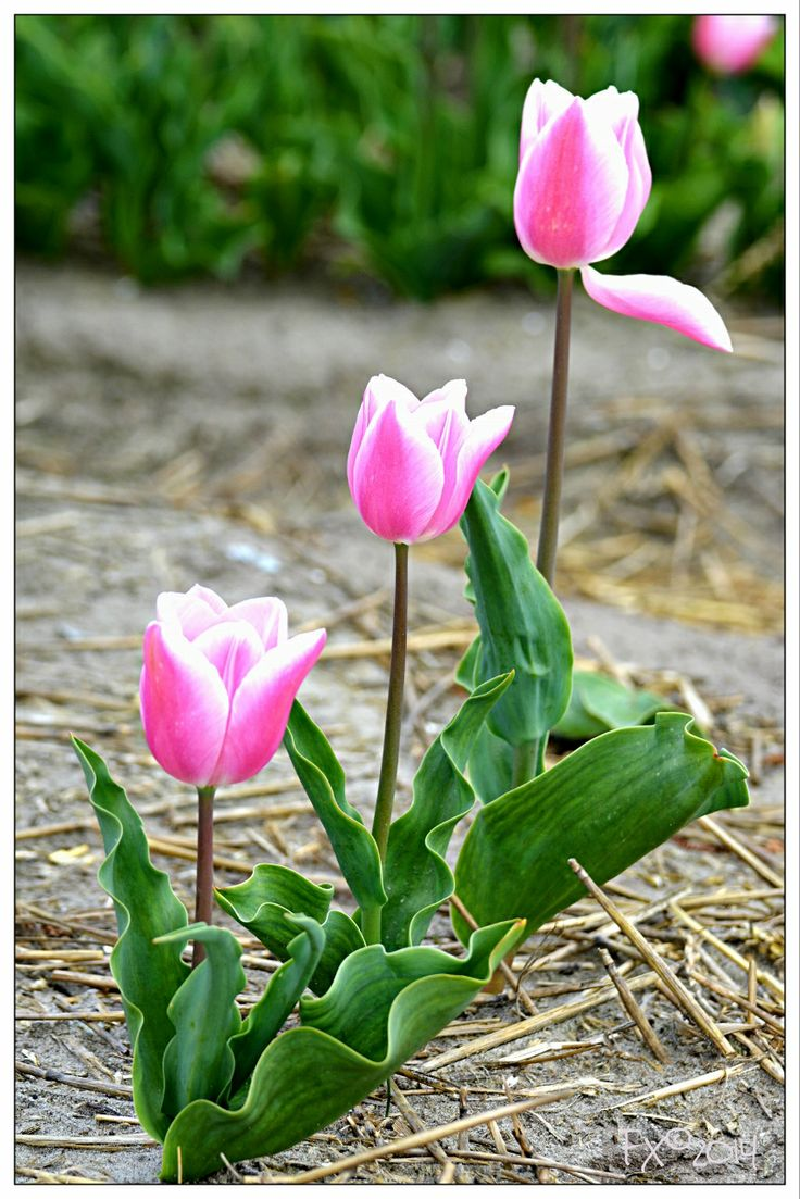 3 Pink tulips