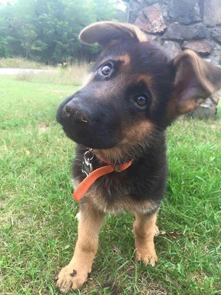 German Shepherd puppy named Olive!