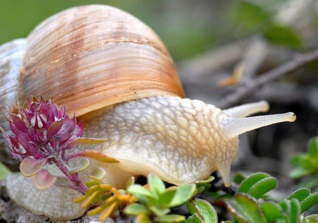 Snail ( Helix pomatia ), common names the Burgundy snail, Roman snail, edible snail or escargot, is a species of large, edible, air-breathing land snail, a terrestrial pulmonate gastropod mollusk in the family Helicidae. It is a European species.