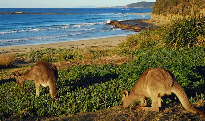 Eastern grey kangaroos at Pretty Beach, Murramarang National Park. Photo: M.Jarman