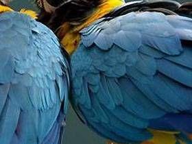 Loros, pertenecientes a diferentes especies, no sólo amistades, sino que también entran en una relación amorosa con los demás, en un principio, en cierta medida forzada, estas relaciones a través del tiempo hasta el punto de ser fortalecido, y que no se detiene cuando ambos amantes tienen la oportunidad de unirse a la unión con su propia clase. Muy...