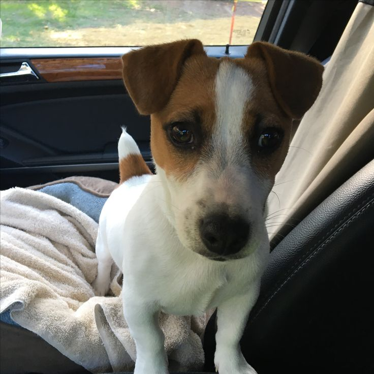 Our Jack Russell Terrier pup