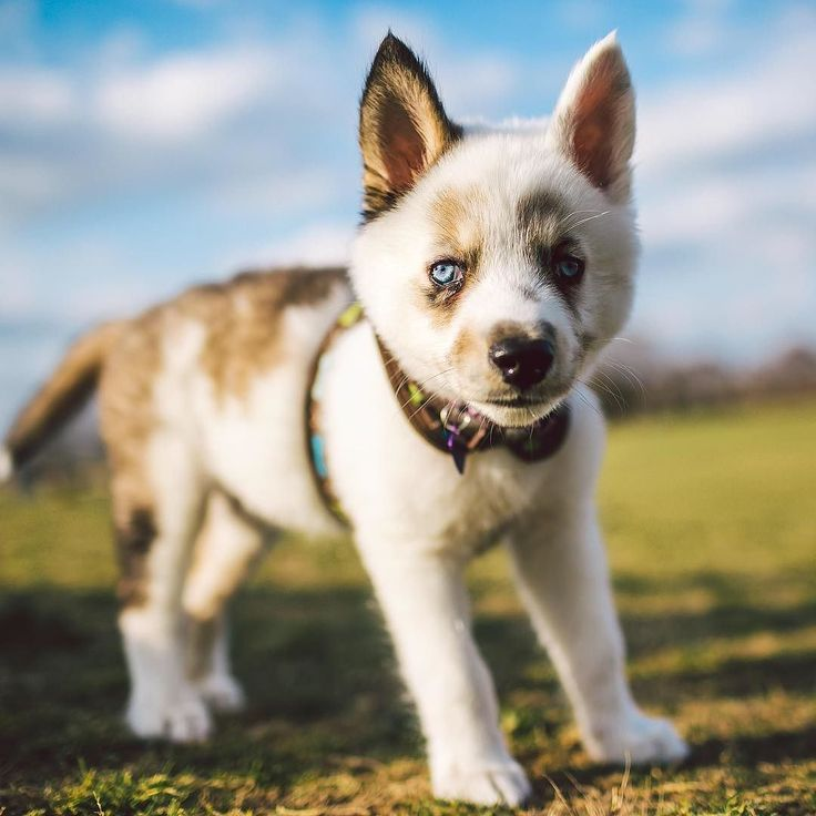 75 best images about ALASKAN MALAMUTE MIXED on Pinterest ...