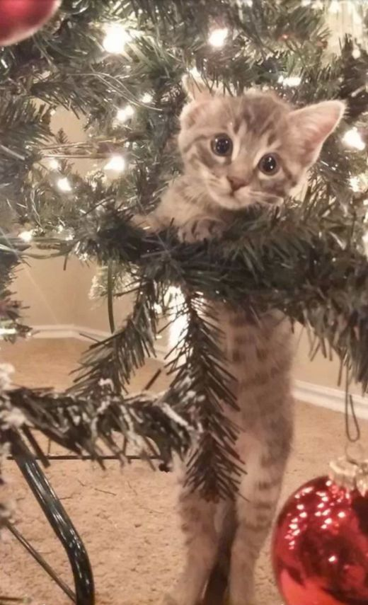 �What do you mean, �it�s not for climbing�? But� I want to climb it.� | 18 Cats Who Are Really, Really Excited About Christmas Trees