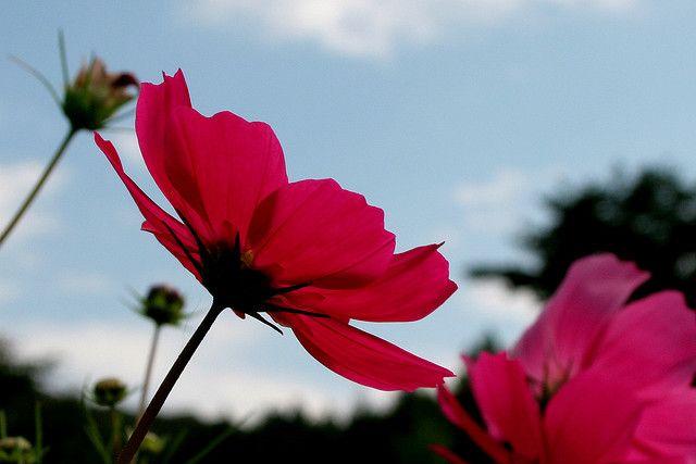 花名のコスモスは、ギリシア語の「kosmos」(意味は、美しさ、調和、宇宙など)に由来します。化粧品のコスメティクスも同じ語源です。  コスモス全般の花言葉は、  「乙女の真心」「調和」「謙虚」    ※西洋での花言葉・英語 Language of flowers  「harmony(調和)」「peace(平和)」「modesty(謙虚)」「the joys that love and life can bring(愛や人生がもたらす喜び)」「beautiful(美しい)」