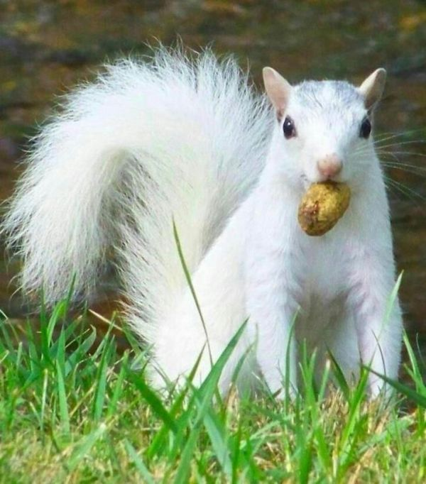 White Squirrel; not an albino. In the U.S. these are in Brevard, NC. A lovely and unusual sight.