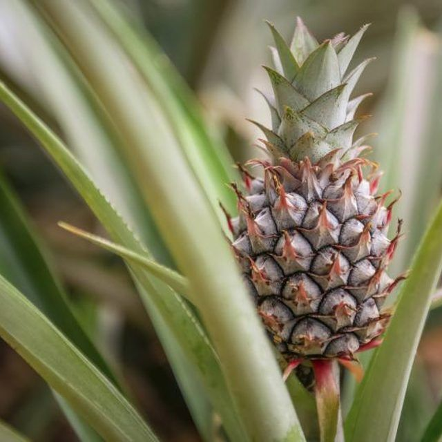 25 best pineapple growing ideas on pinterest where do for How to plant a pineapple top in a pot