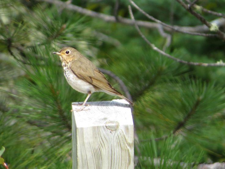 Swainson's Thrush / Grive à dos olive - Ivanhoe Lake Provincial Park (August 2014)