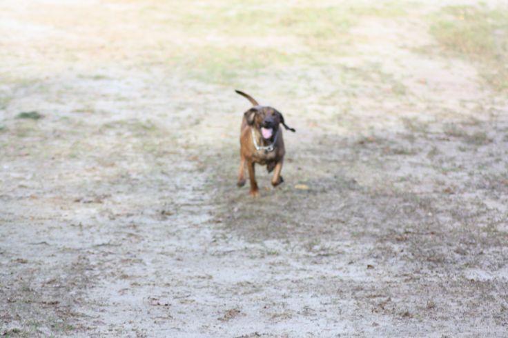 Running! Bavarian Mountain Hound