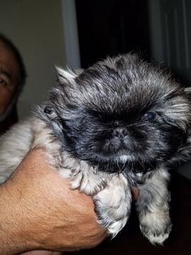 Pekingese Puppy For Sale In Oklahoma City Ok Adn 55046 On
