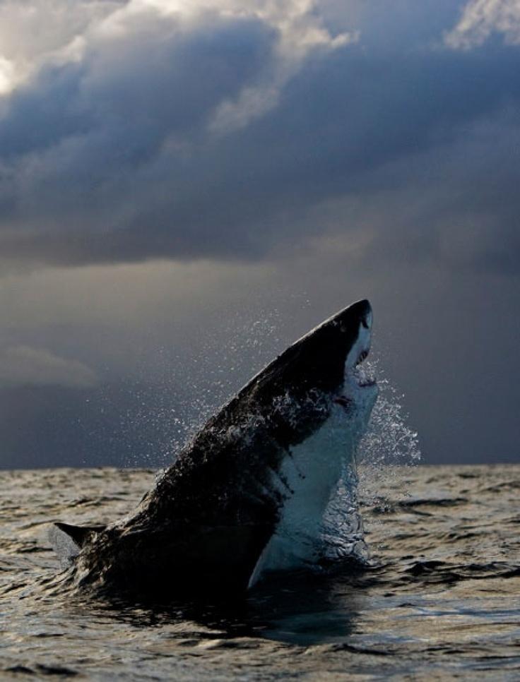Great White Shark - the perfect machine