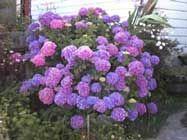 M s de 25 ideas incre bles sobre rosas trepadoras en - Hortensias cuidados poda ...