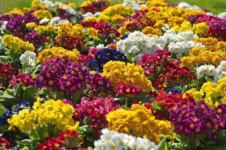 Újdonság: Tavaszvég + színes virág = kankalin!, http://kertinfo.hu/tavaszveg-szines-virag-kankalin/, ezekben a témakörökben:  #Balkonkert #Díszkert #Díszkertinövény #Kert #Kéziszerszámok #Konyhakertieszközök #Mag #Tavaszi #Virág, írta: Megyeri Szabolcs