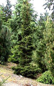 Kigi Nursery - Picea abies ' Kluis ' Dwarf Narrow Norway Spruce, $20.00 (http://www.kiginursery.com/spruces/copy-of-picea-abies-hildburghausen-dwarf-norway-spruce-1/)