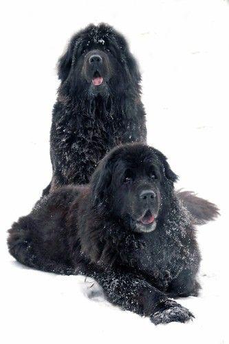 Neufundländer im Schnee