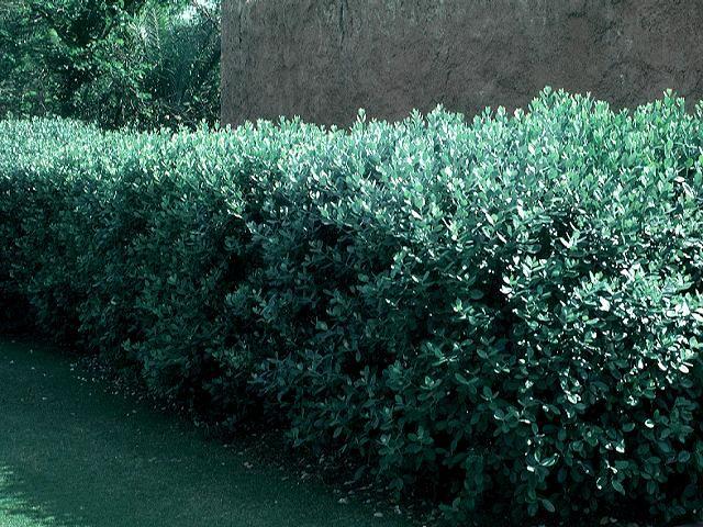 Feijoa Sellowiana hedge