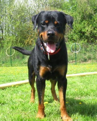 Nero, #Rottweiler, geb. 2010, braucht erfahrenes Zuhause, HD, wartet im #Tierheim #Salzgitter