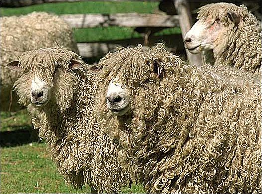 Leicester Longwool Sheep Colonial WillamsburgLincoln Longwool, Leicester Longwool, Wooly Sheep, Longwool English, Longwool Sheep, Long Wool, Sheep Colonial, Cotswolds Sheep, Lincoln Sheep