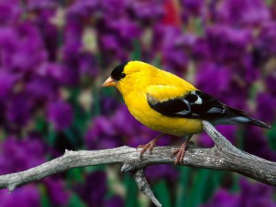 American Goldfinch - saw one of these on my garden fence about five minutes ago.  What a beautiful little bird!