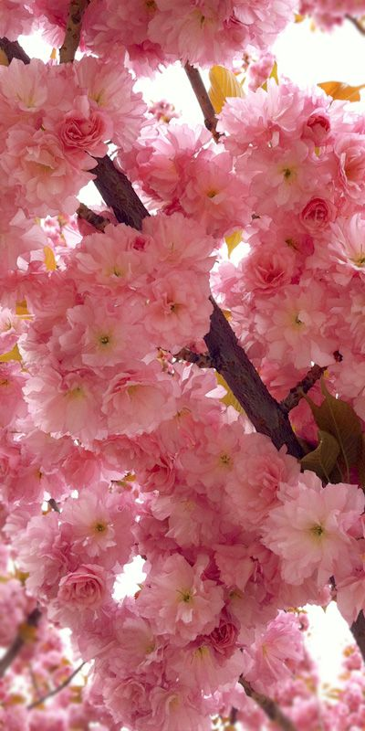 These sakura bloom a little later, are double petels and are a brighter pink