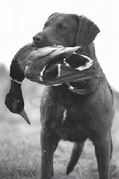 Chesapeake Bay Retriever dog art portraits, photographs, information and just plain fun. Description from pinterest.com. I searched for this on bing.com/images