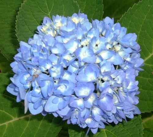Best 25 endless summer hydrangea ideas on pinterest hydrangea care pruning hydrangeas and - Caring hydrangea garden ...