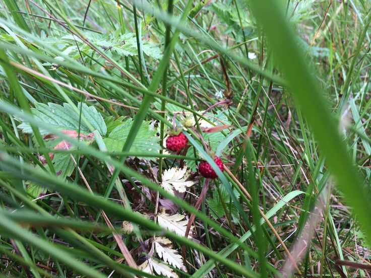 Strawberries growing wild in the forest