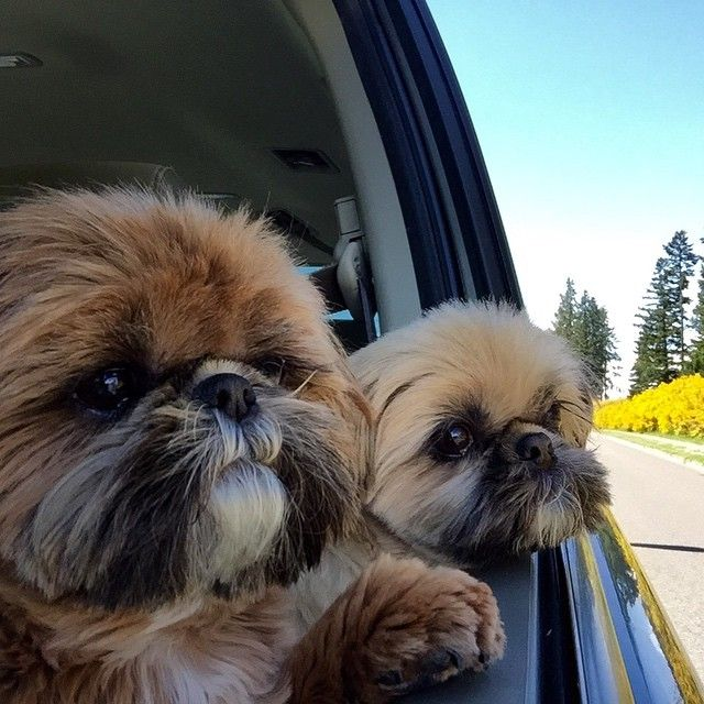 Doggies in the car window! Ours love this!