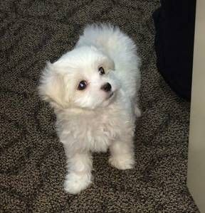 Norfolk Pets Craigslist Poodles And Related Things Pets