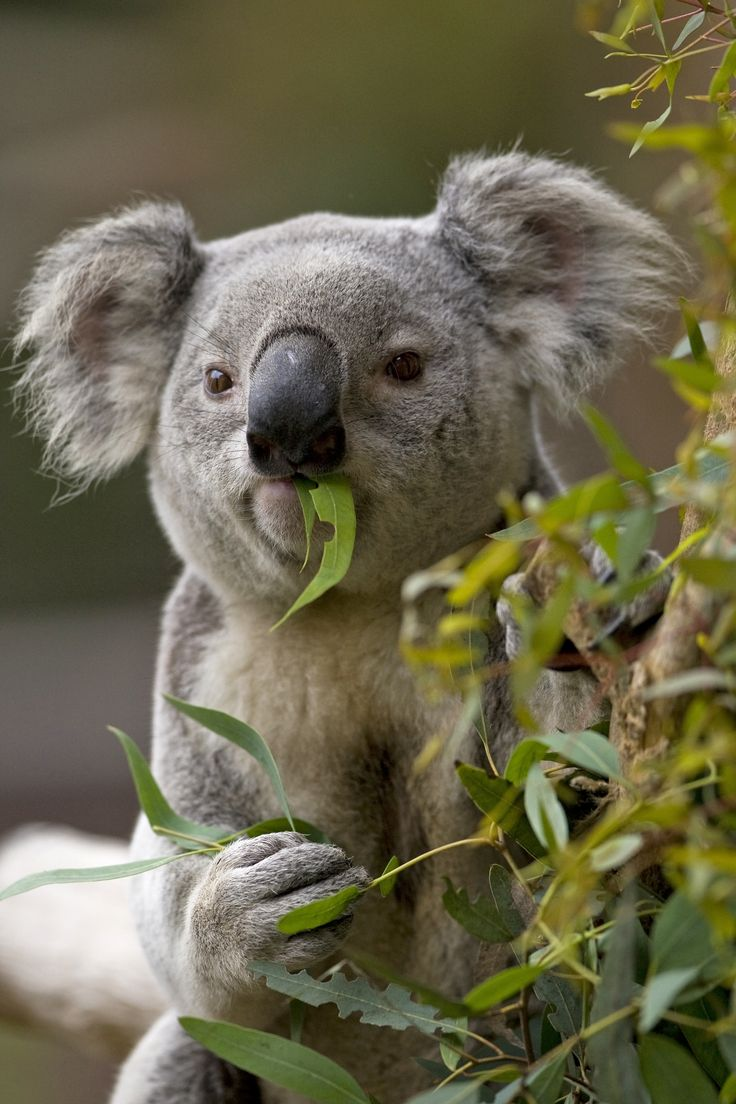 Conrad Prebys Australian Outback is now open at The San Diego Zoo. See Koalas, Wombats, Kookaburras, and more!