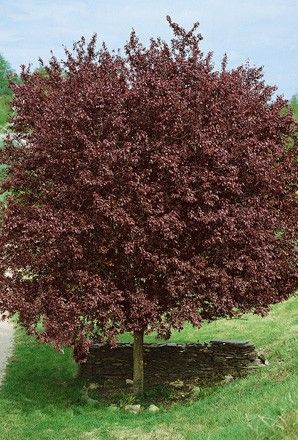 Cherry Tree - Prunus Cerasifera Nigra