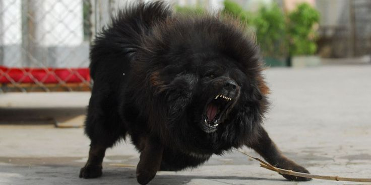 Tibetan Mastiff Breed Information Characteristics Puppy Names Unique Dog Breeds Mastiff Puppies British Mastiff
