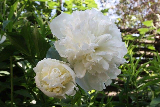 Paeonia `Gardenia` (Pioenrioos) moet een poosje rustig staan voordat hij gaat bloeien. Niet te diep planten, neuzen net onder de aarde.