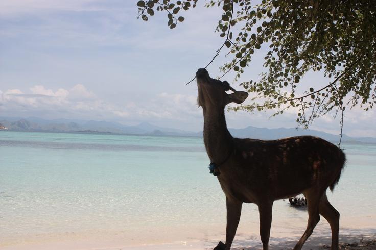 Dear deer, i miss you. Pulau Kanawa, Flores