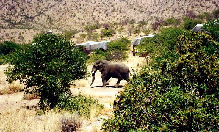 Free Roaming Desert Elephants In the Damaraland area