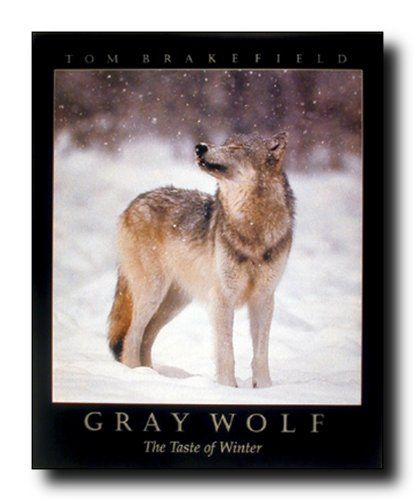Add this wonderful wall poster which display the image of a grey wolf standing in a snow field where snow falls on the wolf which is sure to grab lot of attention. This wall poster will transform the entire look of your home in minutes and create your walls a focal point of your home. What are you waiting for grab this charming poster for its high quality gloss finish paper with archival quality inks which ensures long lasting beauty and color fading.