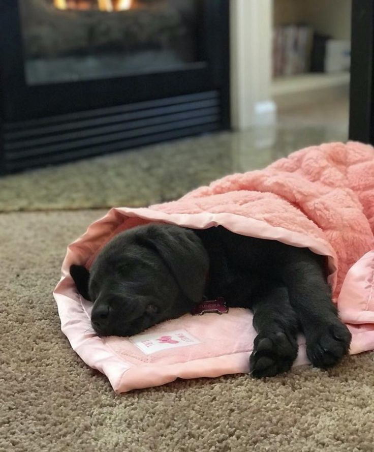 Charcoal lab baby snuggled up by the fire http://ift.tt/2EWxdcR