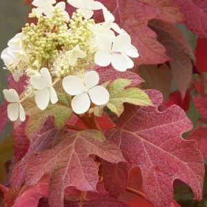 Les hydrangeas quercifolia sont originaires d'Amérique du nord. Ils fleurissent sur le bois de l'année précédente, en panicules blanches, dressées ou pendantes, simples ou doubles selon les variétés. Les feuilles ressemblent à une feuille de chêne, qui rougit magnifiquement en automne, à condition de bénéficier d'un minimum de soleil. Cet arbuste ne redoute pas le calcaire, mais les sols mal drainés, à amender absolument.