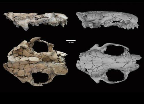 A large extinct otter, Siamogale melilutra, has been found in the Miocene Shuitangba site in northeastern Yunnan Province in China. The new prehistoric otter was the size of a modern wolf and is one of the largest otter species known to science.