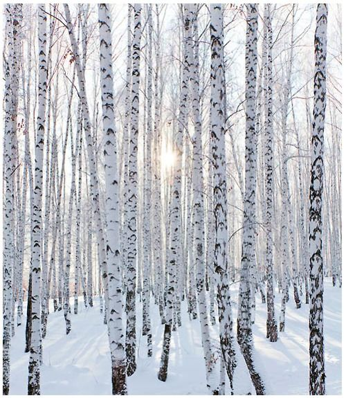 Silver birch trees in the snow have inspired us to look towards nature