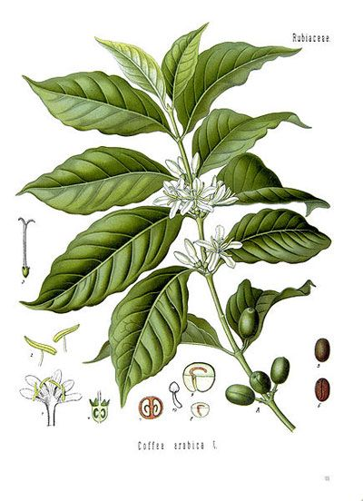 coffee plant illustration – coffea arabica