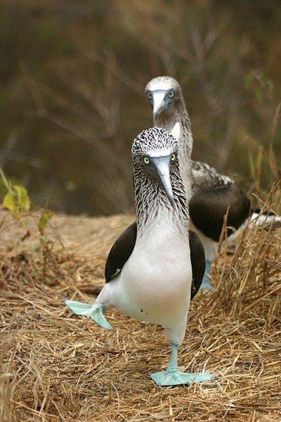 Herido piquero de patas azules que hace danza de apareamiento