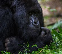 Critically Endangered mountain gorilla seen on a trek in Volcanoes National Park