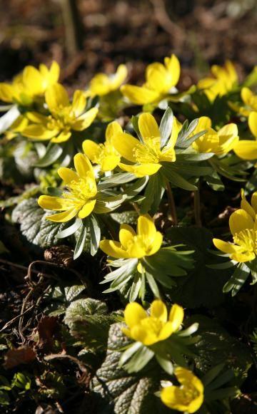 Winterlinge erfolgreich vermehren -  Winterlinge zählen mit ihren kleinen gelben Schalenblüten zu den schönsten Winterblühern und bilden auf humusreichen Böden unter Bäumen und Sträuchern dichte Teppiche. Die Frühblüher lassen sich nach der Blüte leicht im Garten ansiedeln und vermehren.