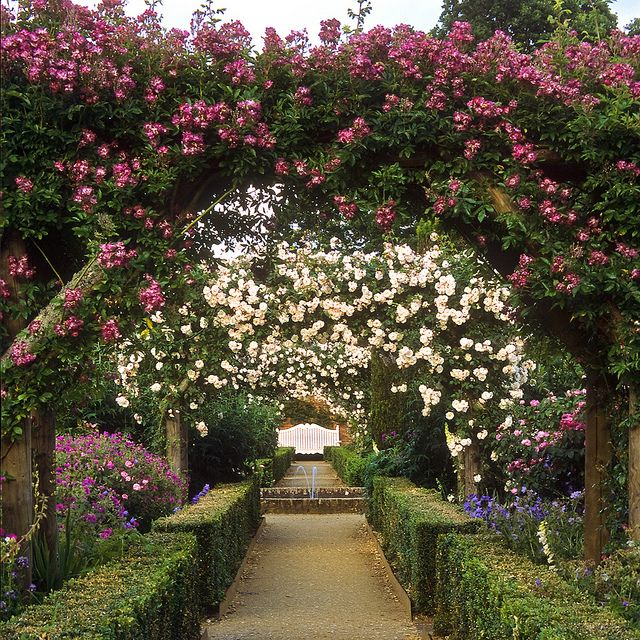 Mottisfont Abbey Rose Garden, Hampshire, UK | An outstanding National Trust historic rose garden (15 of 20) | Rose Veilchenblau and other climbers covering arches and pergolas creating a romantic setting by ukgardenphotos, via Flickr