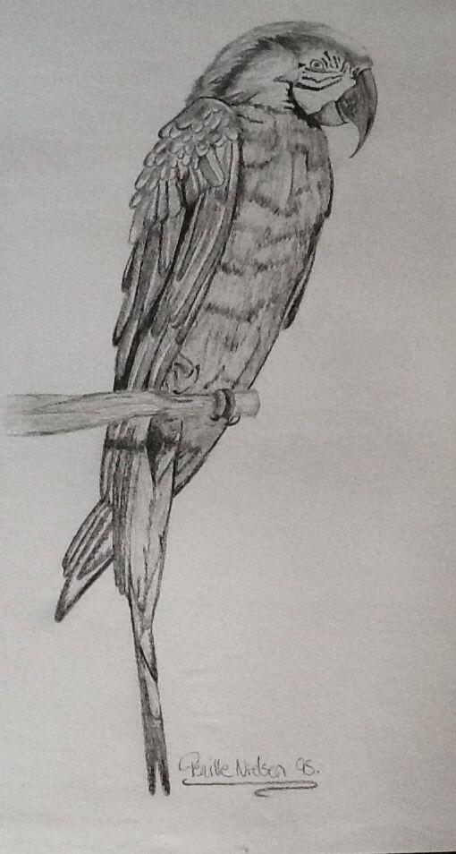 Papegøje tegning
