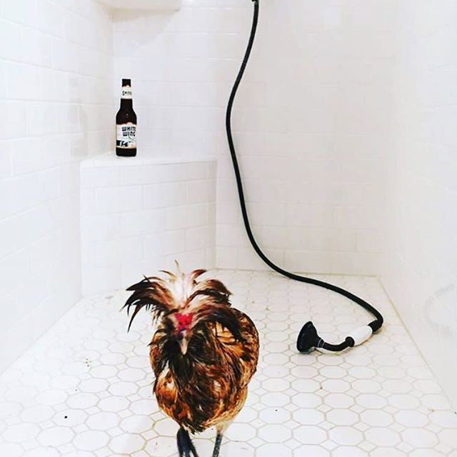 You all know how much I love seeing all your beautiful  beer pictures, buuuutt sometimes I like to look at cocktails, annndd sometimes I like to look at cocktails and chickens!  Boy how I'd love to spend a day drinking with Kate, and her chickens @drinkingwithchickens and seriously the best #showerbeer photo ever!  #aviphile #cocktails #chickens #birdbath #sandiego #sandiegoconnection #sdlocals #sandiegolocals - posted by Kristine || Beer Enthusiast…